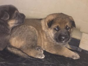Available Puppies For Sale Tennessee | Midsouth Puppies